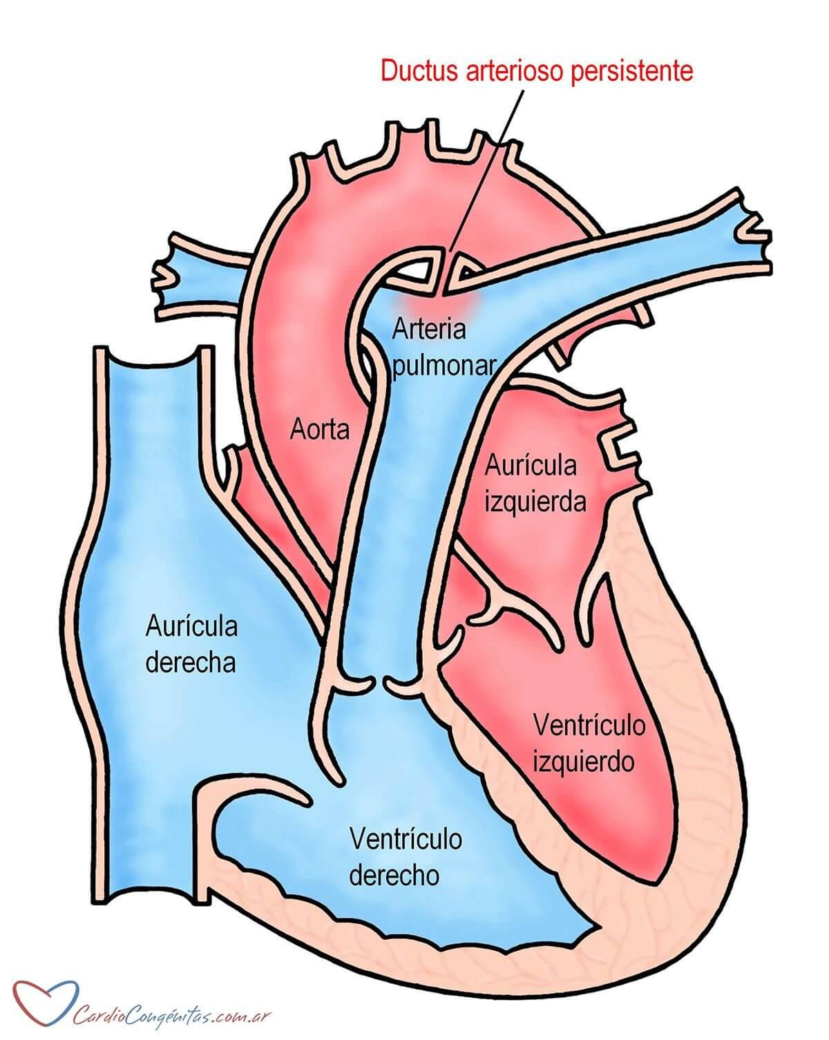 Ductus-anatomia