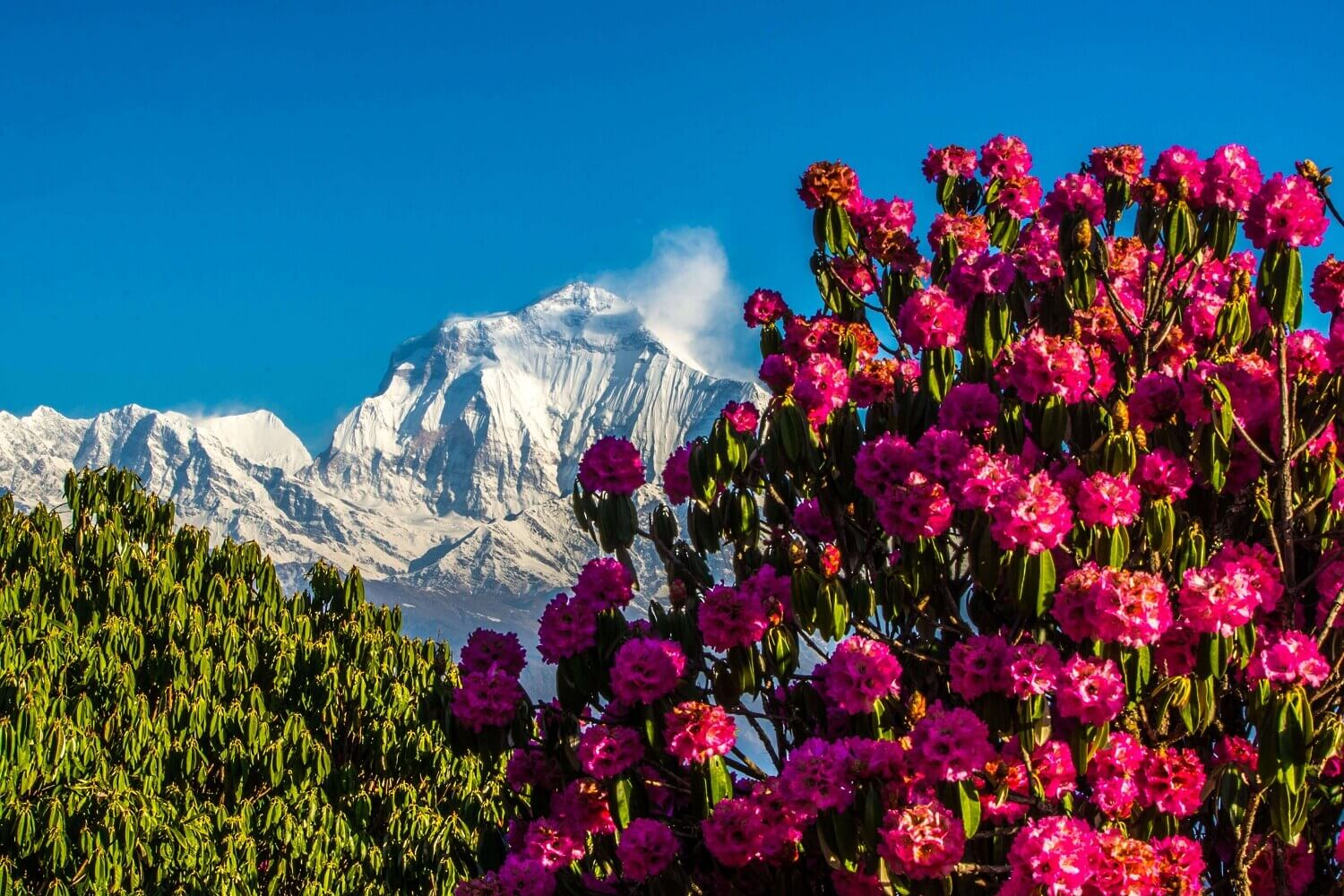 Beautiful Dhaulagiri Mountain in the Backdrop and Rhododendron Flowers
