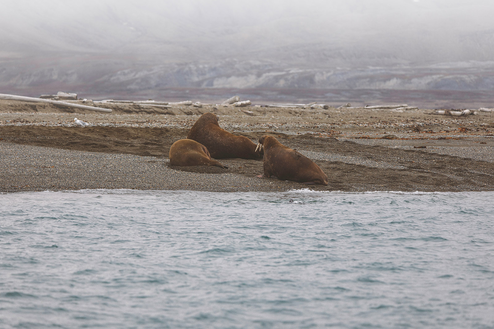 three walruses lying on a barren beach