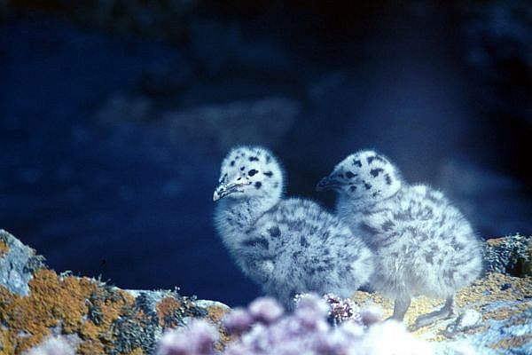 Two Great Black-backed Gull chicks
