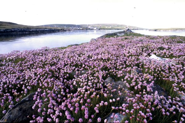 Greenholm, near Burravoe, covered in Thrift
