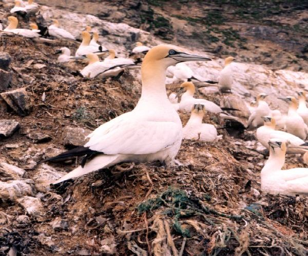 Member of a colony of Gannets
