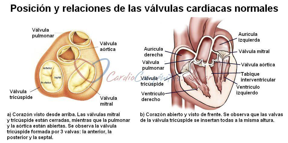 Valvulas-cardiacas