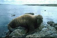 The Walrus rests on the rocks near Gutcher