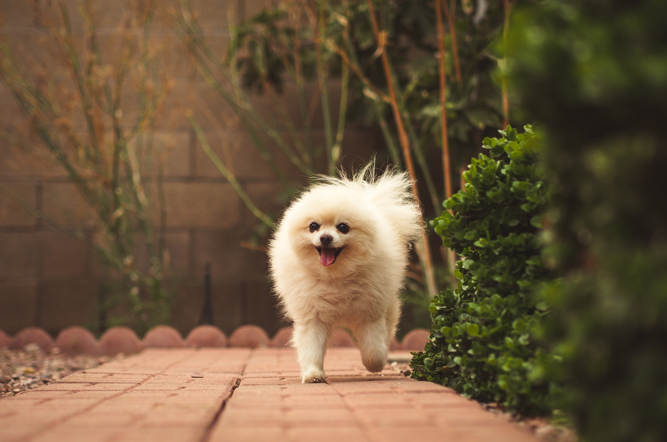 Small white pomeranian on a red brick road