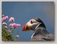 Puffin. Copyright Davy Cooper  » Click to zoom ->