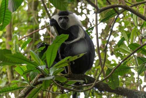 Colobus Monkey