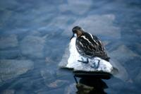Red-necked Phalarope balances on a stone