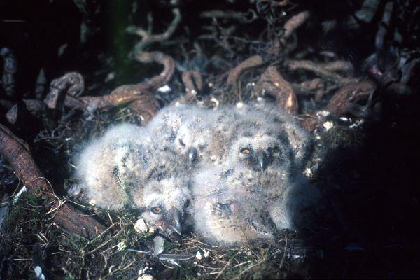 Long-eared Owl chicks in the nest