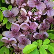 The light pink clover-shaped flowers of a Chocolate Vine (akebia quinata)