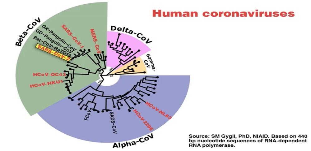 The coronavirus phylogenetic tree provides an overview of the different human coronaviruses.