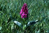 A Northern Marsh Orchid in close-up