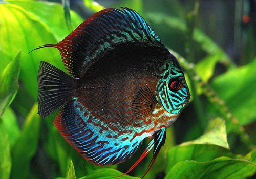 The Discus Fish Distinction