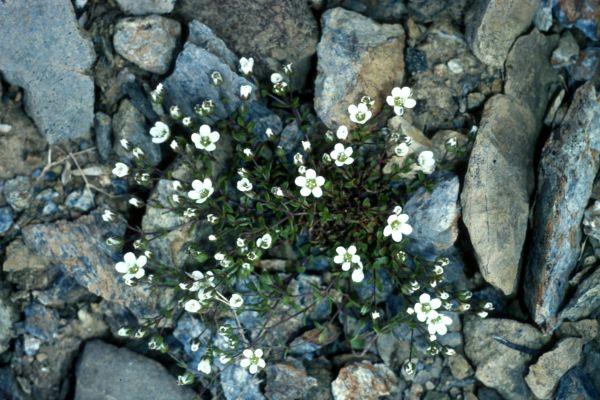 A clump of Arctic Sandwort