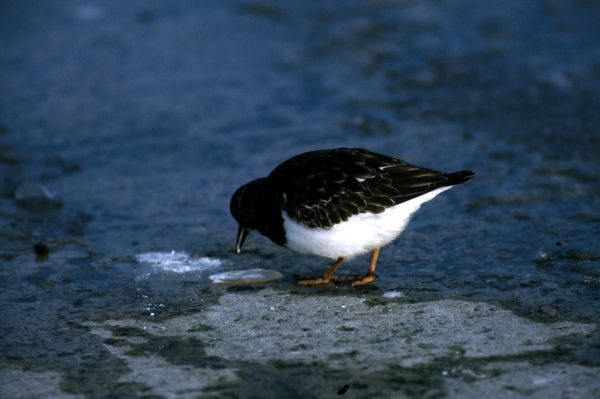 A Turnstone feeds on the sandy shore