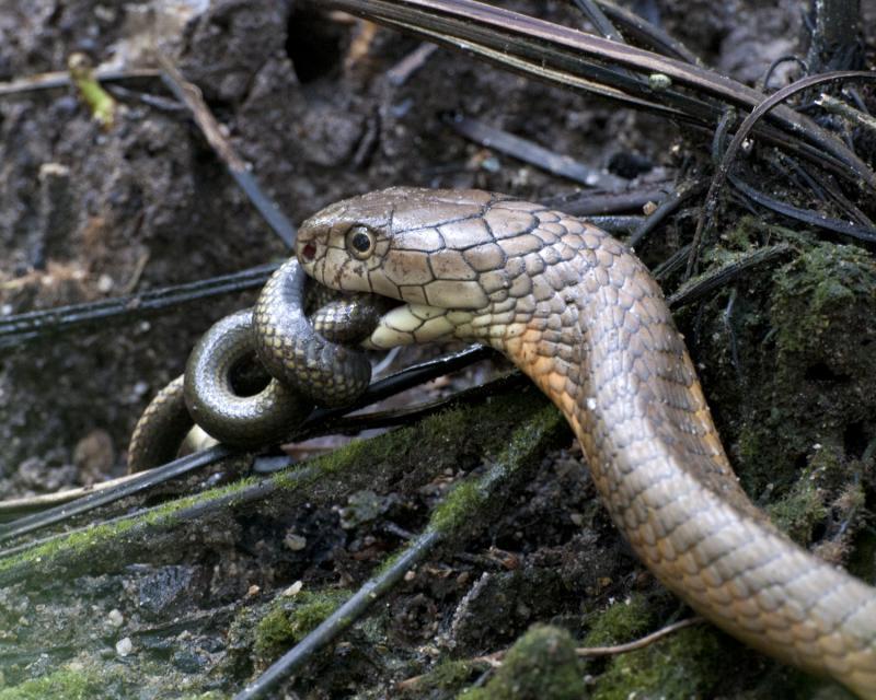 Cobra real comiendo