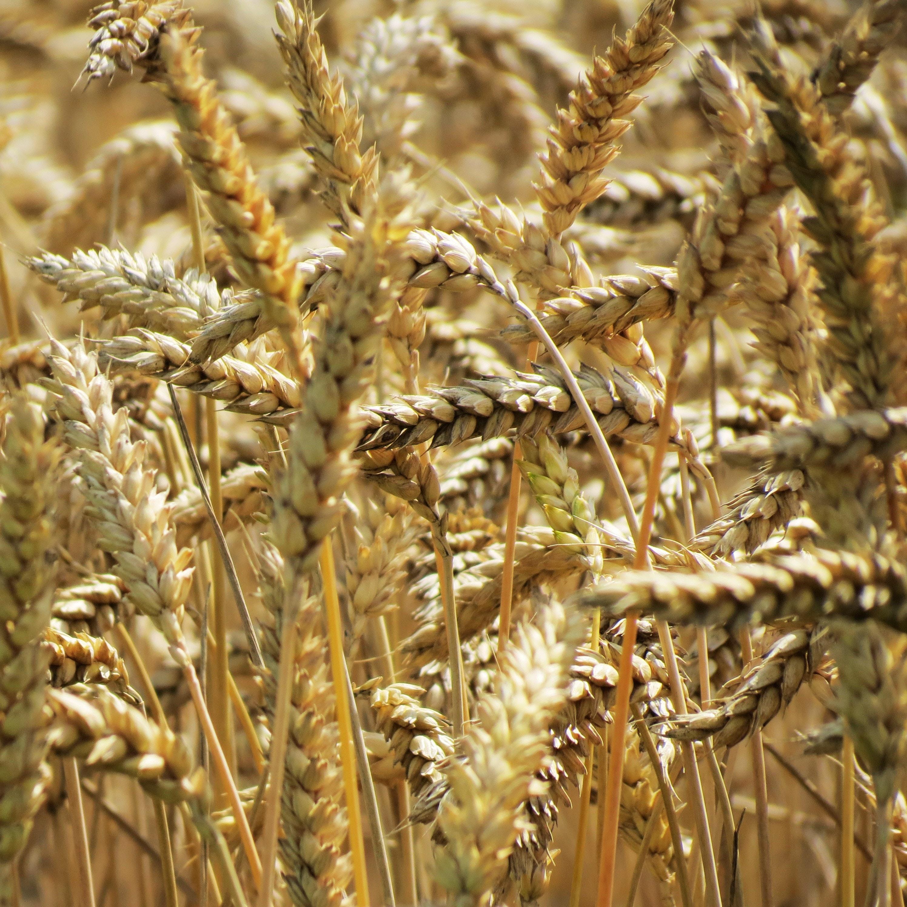 Barley in the sun
