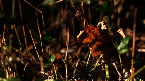 Autumn Leaf 1293