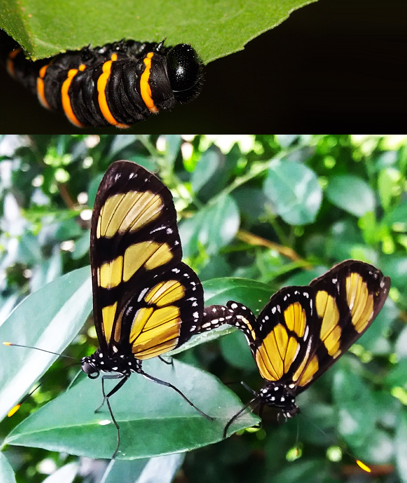 Imagem de lagarta de borboleta-do-manacá acima e imagem Borboleta-do-manacá pousada em uma folhas de manacá abaixo