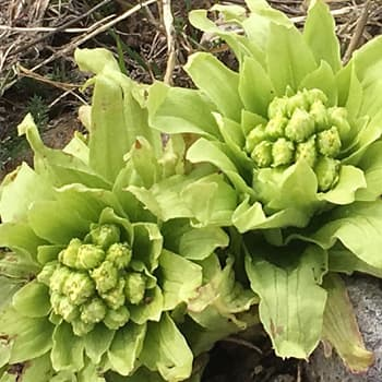 Fukinoto (Butterbur) mountain vegetable in the Spring