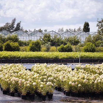 A typical view of the nurseries of Boskoop! #hydrangeanursery #hydrangeapaniculata 📸 #livingseries @sabrinarothephotography . . . #netherlands #boskoop #hydrangea #paniculata #nursery #view #horticulture #hydrangeanursery #hydrangea #paniculata #hydrangeapaniculata #livingcreations #plantsofinstagram #gardenflowers #flora #hydrangealovers #plantsplantsplants