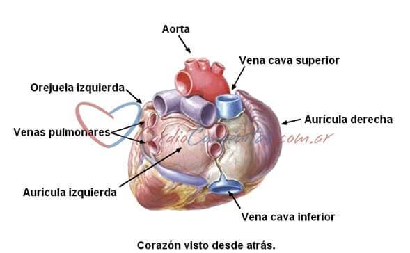 anatomia-cardiaca-auricula-izquierda