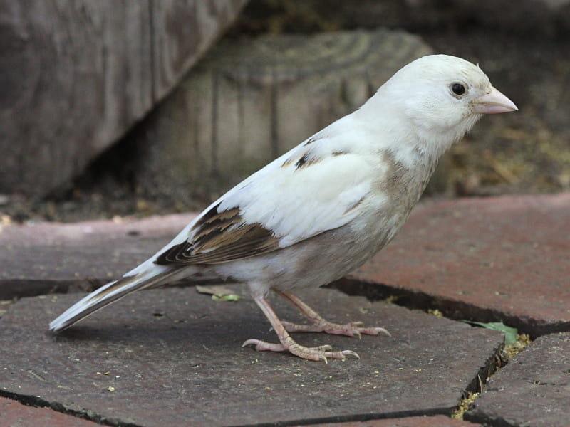 Pardal quase totalmente branco, apenas algumas partes do seu corpo, como a ponta das asas apresentam colorações amarronzadas ou negras