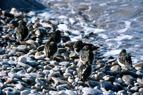 Seven Turnstones on a pebble beach
