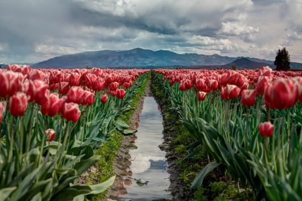 I ❤️ Tulips