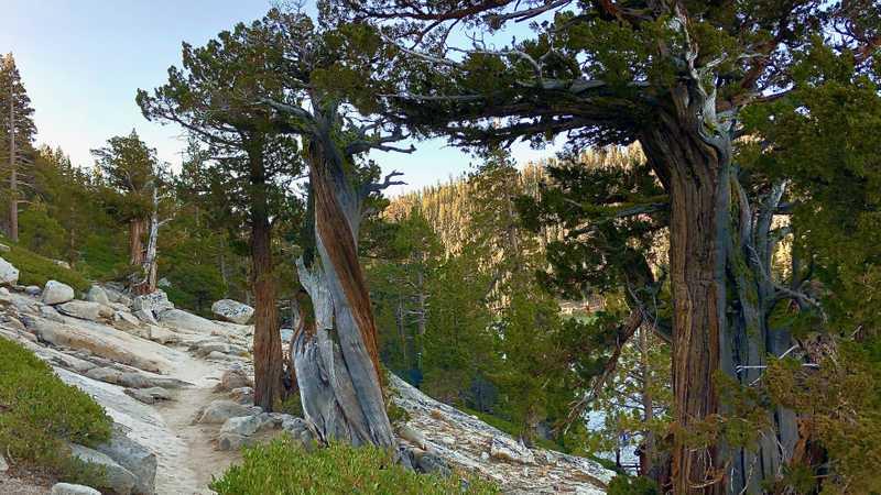 Twisted Sierra junipers