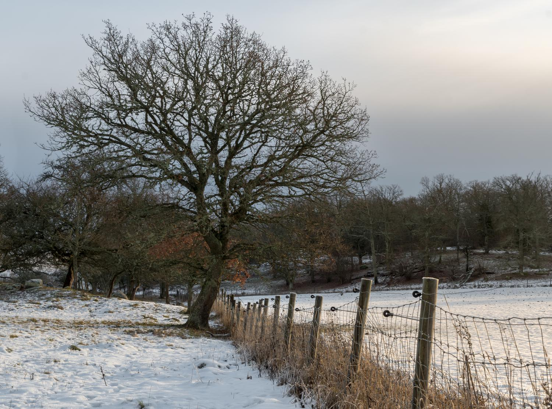 Eken i hagen på vintern