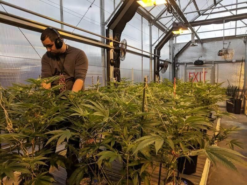Cannabis Trimming And Harvesting Jobs