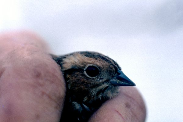 A Little Bunting held to the camera