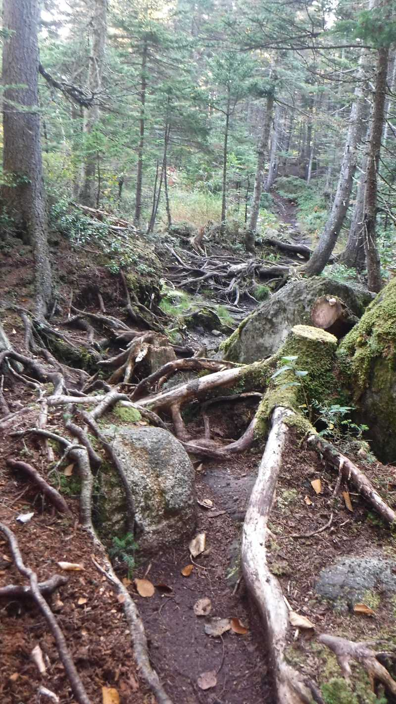 Roots covering the trail