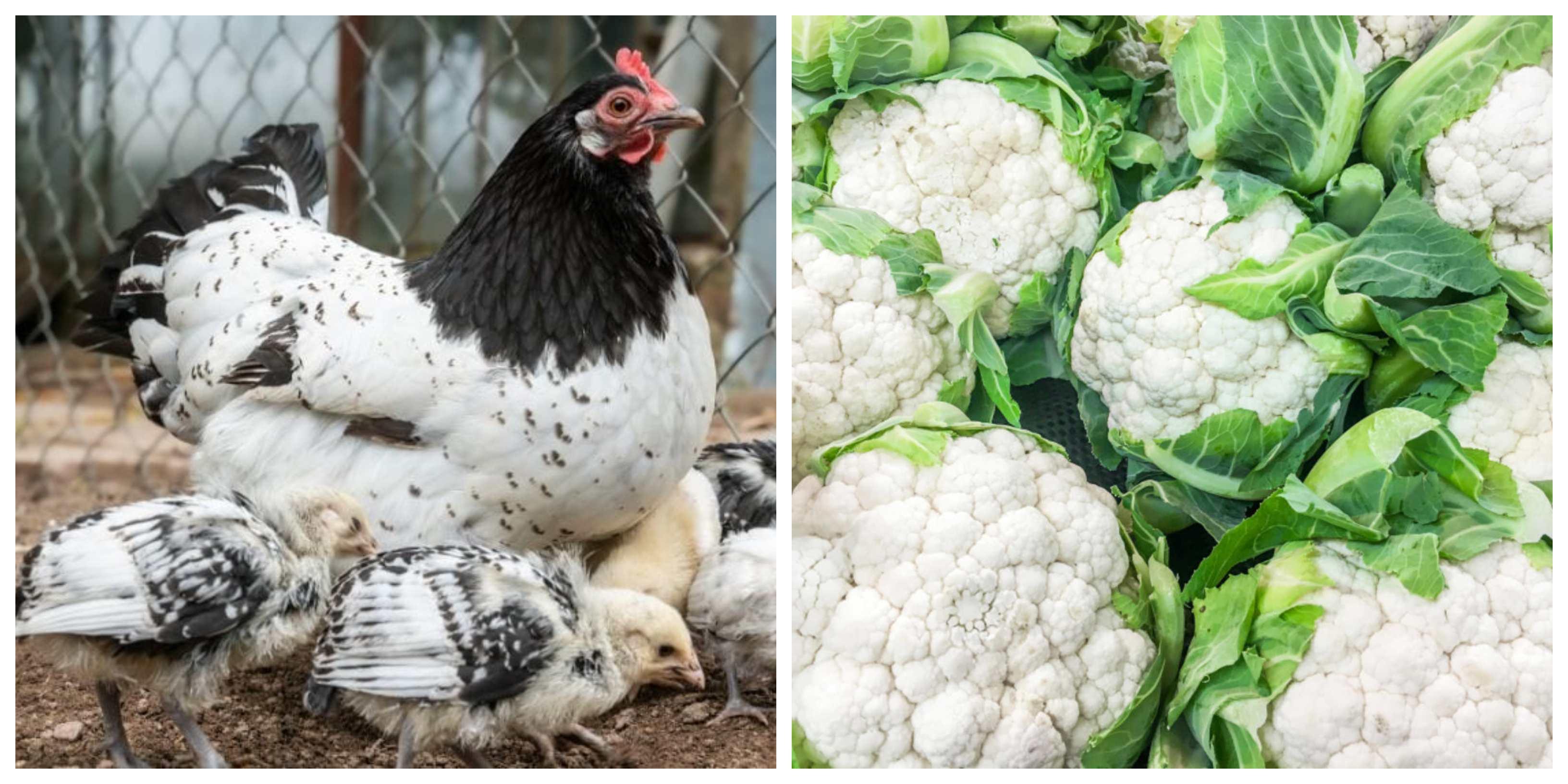 chickens and cauliflower