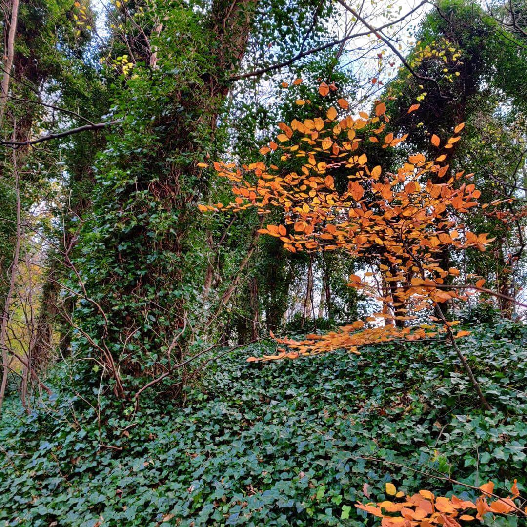 Batcliffe Wood Ivy