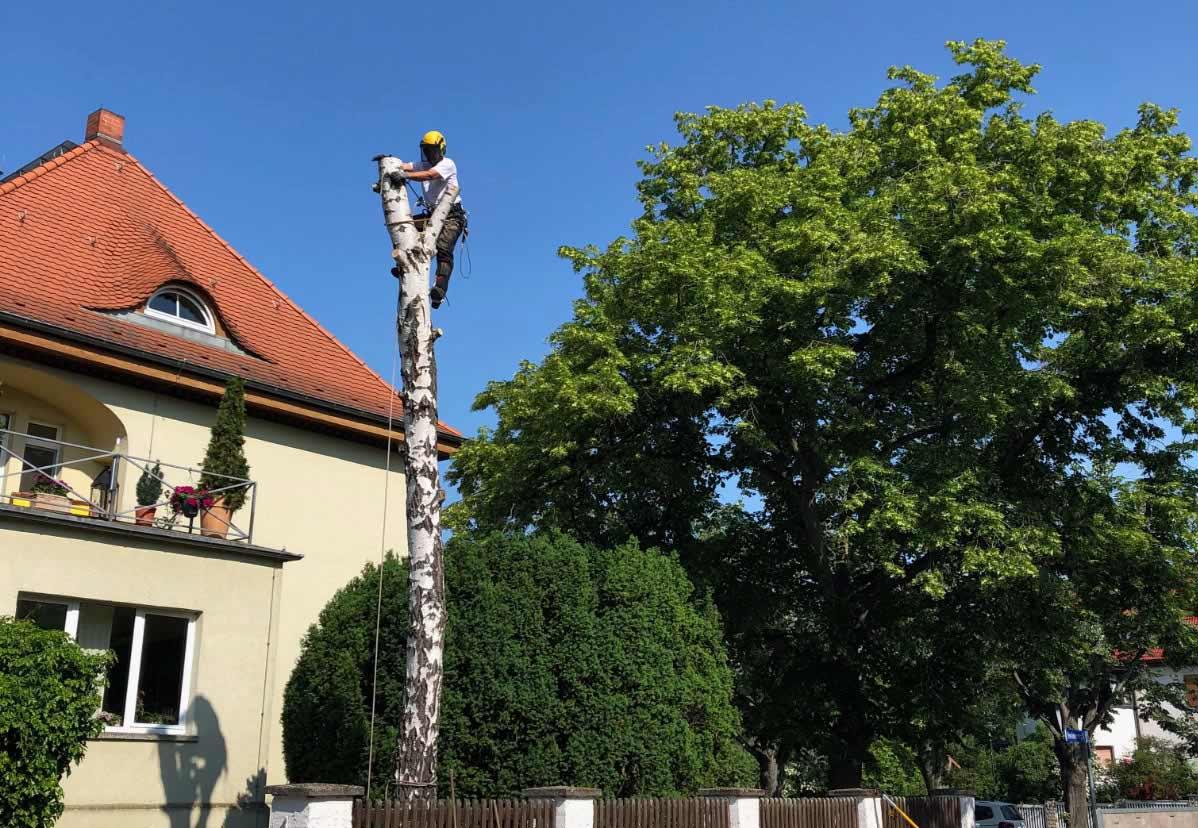 Baumfällung mittels Seilklettertechnik (SKT)