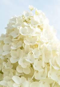 Hydrangea paniculata Living Summer Snow®