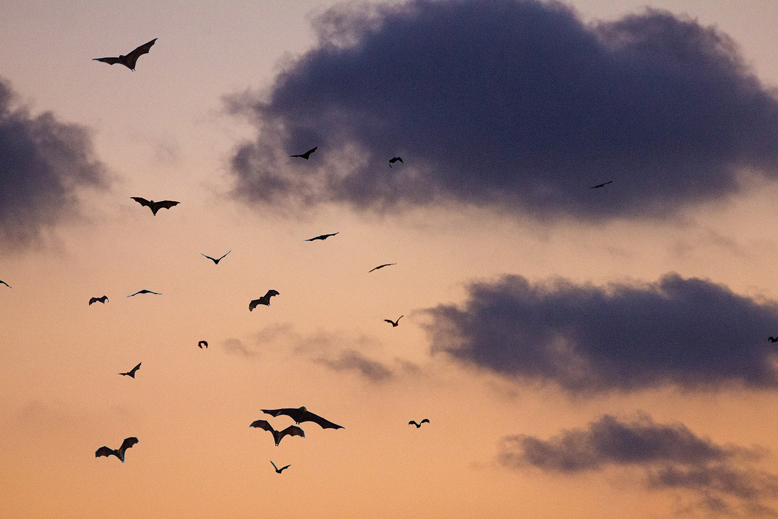 bats flying in the evening sky