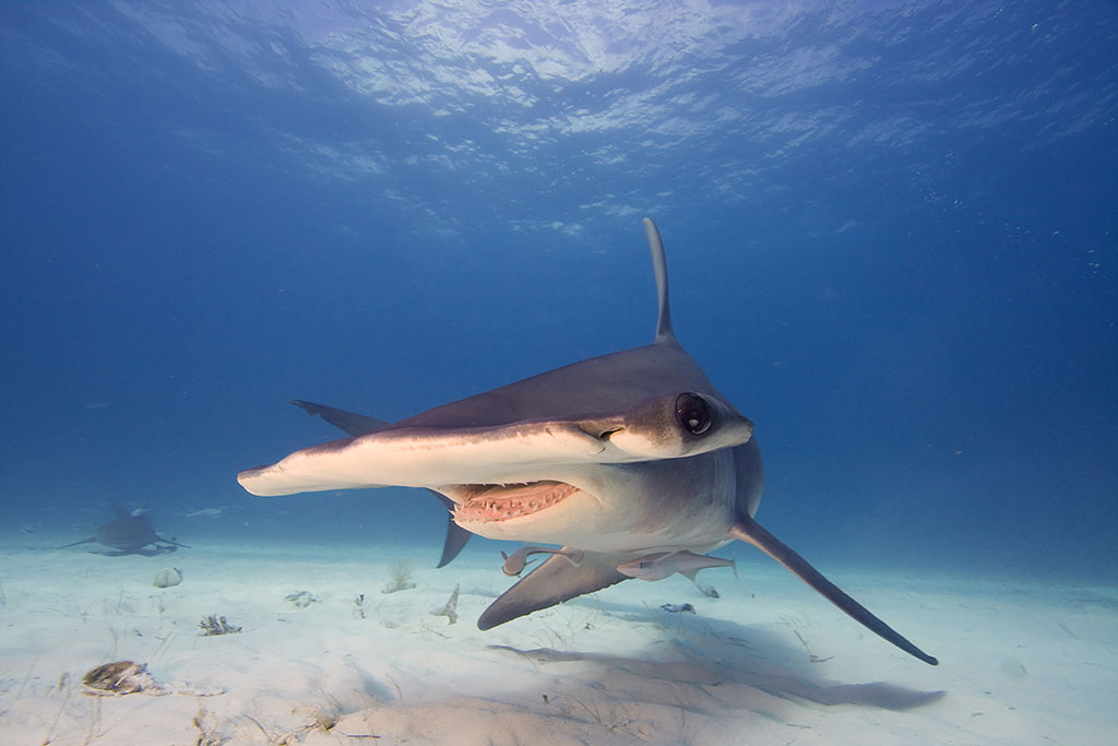 What Kind of Creatures are Sharks? - Pitara Kids Network