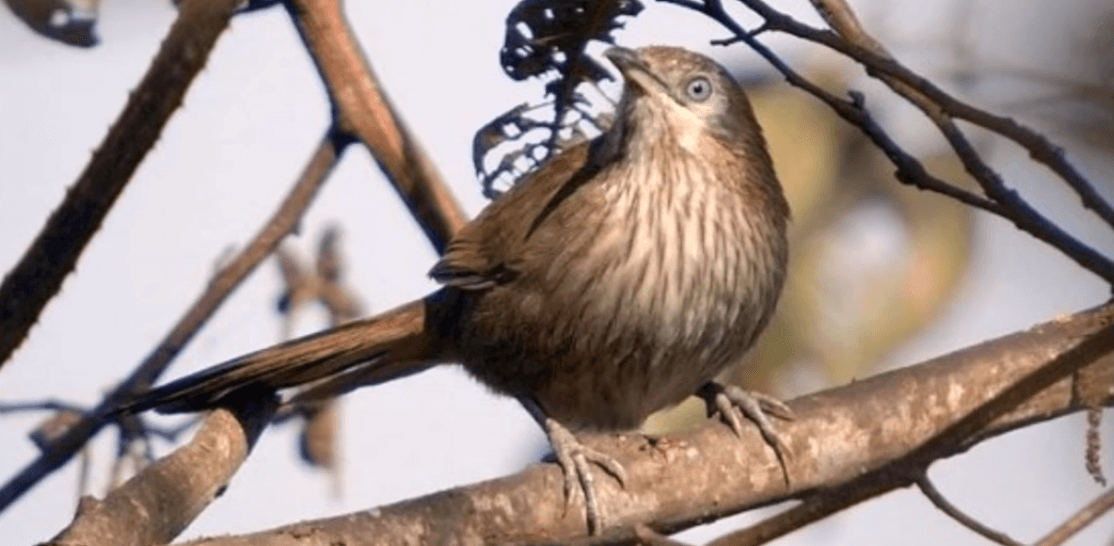 Spiny Babbler - found only in Nepal