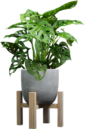 Swiss Cheese Vine (aka Monstera adansonii) in a concrete pot on a plant stand