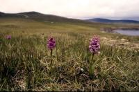 Fragrant Orchids growing in a sheep pasture