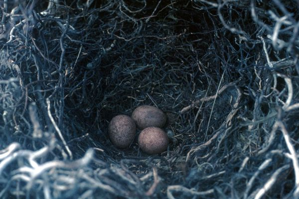 A Merlin nest with three eggs