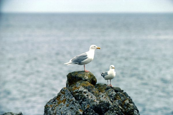 Two Glaucous Gulls perched on a rock