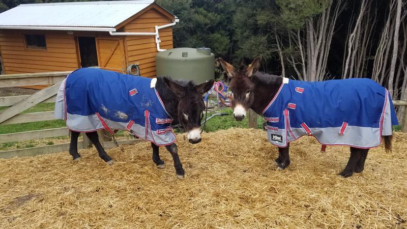 Donkeys in coats
