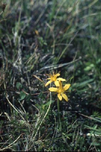 St. John's-wort flowers among grass.