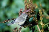 A Garden Warbler