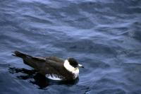 A Pomarine Skua on the water