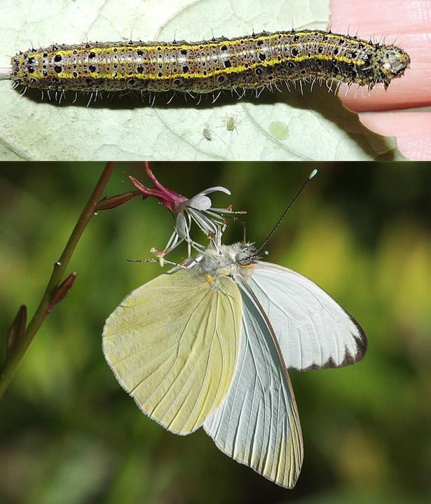 Imagem de lagarta de borboleta-brancão acima e imagem Borboleta-brancão pousada em uma flor abaixo
